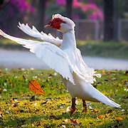 """This red faced goose called """"muscovy duck"""" is flapping its wings energetically to dry them after it's morning bath."""