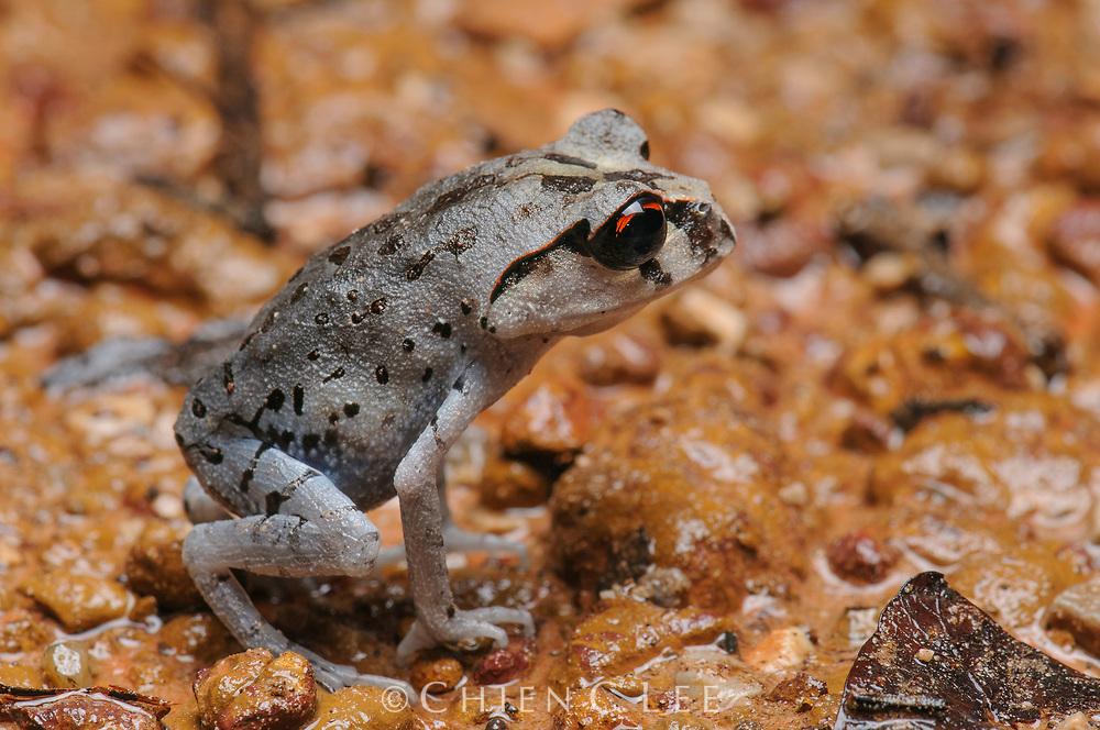 Smith's Litter Frog (Leptobrachium smithi). Krabi, Thailand.