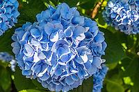 Hydrangea's on Martha's Vineyard,Massachusetts,USA.