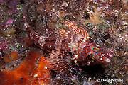 chameleon clinid or throatspotted blenny, Malacoctenus tetranemus, Galapagos Islands, Ecuador,  ( Eastern Pacific Ocean )