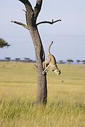 Cheetah <br /> Acinonyx jubatus<br /> 7-9 month old cub jumping out of tree<br /> Masai Mara Conservancy, Kenya