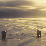 Polar Bear gathering during sunset on frozen ice in Churchill, Manitoba, Canada.