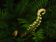 New fronds unfurl on Sword ferns grow abundantly in the lush temperate forests of the Kitsap Peninsula, Puget Sound, WA, USA