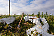 """12 AUGUST 2020 - POLK CITY, IOWA: Aluminum siding from a barn landed on the edge of a corn field in central Iowa. According to Iowa Governor Kim Reynolds, the storm damaged 10 million acres of corn and soybeans in Iowa, about 1 one-third of Iowa's 32 million acres of agricultural land. Justin Glisan, Iowa's state meteorologist, said the storm Monday, Aug. 10, lasted 14 hours and traveled 770 miles through the Midwest before losing strength in Ohio. The storm was a seldom seen """"derecho"""" that packed straight line winds of nearly 100MPH. The storm pummelled Midwestern states from Nebraska to Ohio.     PHOTO BY JACK KURTZ"""