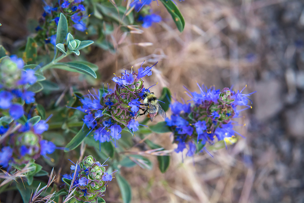 A mixed bumblebee (Bombus mixtus) is busily feeding on the nectar of wild purple sage in the sagebrush steppe of White Pass, a dry desert-like canyon west of Yakima, Washington.