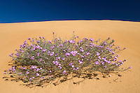 Malcolmia littorea, Southwest Alentejo and Vicentine Coast Natural Park, Portugal