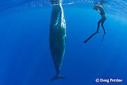 photographer Deron Verbeck and juvenile female sperm whale, Physeter macrocephalus ( Endangered Species ), Kona, Hawaii Island ( the Big Island ), Hawaii, U.S.A.  ( Central Pacific Ocean ) MR 467