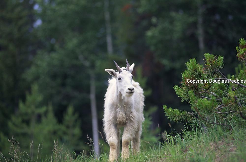 Dall Sheep, Icefield Parkway, Alberta, Canada<br />
