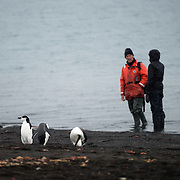 Three Chinstrap penguins stand on teh beach in front of two people at Whalers Bay on Deception Island. Deception Island, in the South Shetland Islands, is a caldera of a volcano and is comprised of volcanic rock.