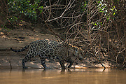 Jaguar (Panthera onca) male<br /> Northern Pantanal<br /> Mato Grosso<br /> Brazil<br /> (Mick Jaguar)