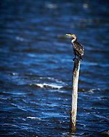 Double-crested Cormorant. Biolab Road, Merritt Island National Wildlife Refuge. Image taken with a Nikon D4 camera and 500 mm f/4 VR lens (ISO 450, 500 mm, f/5.6, 1/4000 sec).