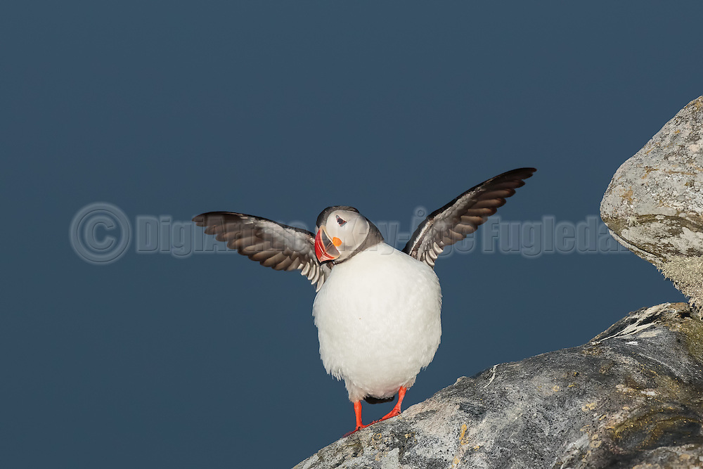 Puffin on a clean blue background with wings spread out | Lundefugl på klar blå bakgrunn med vingene ut