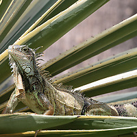 Iguana iguana, tame iguanas fed in a small urban park in downtown Guayaquil, Ecuador