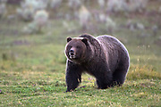 Grizzly near Gardiner, Montana.