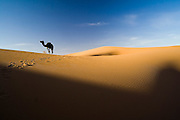A lone camel walks in search of food near camp in the large sand dunes of Erg Zehar near M'hamid, Morocco.