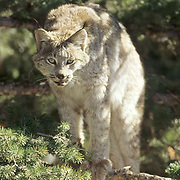 Canada Lynx, (Lynx canadensis) Portrait of adult. Rocky mountains. Montana. Winter. Captive Animal.