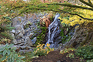 Gingko biloba and Japanese Maple (Acer japonica) trees provide some fall foliage color near the waterfall in the Quarry Gardens.  Photographed at Queen Elizabeth Park in Vancouver, British Collumbia, Canada.