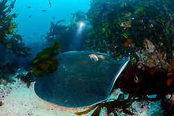 Dasyatis brevicaudata, Peitschenrochen und Taucher mit Tang, shorttail stingray or smooth stingray and scuba diver with seaawead, False Bay, Simons Town, Suedafrika, Indischer Ocean, False bay, Simons Town, South Africa, Indian Ocean, MR Yes