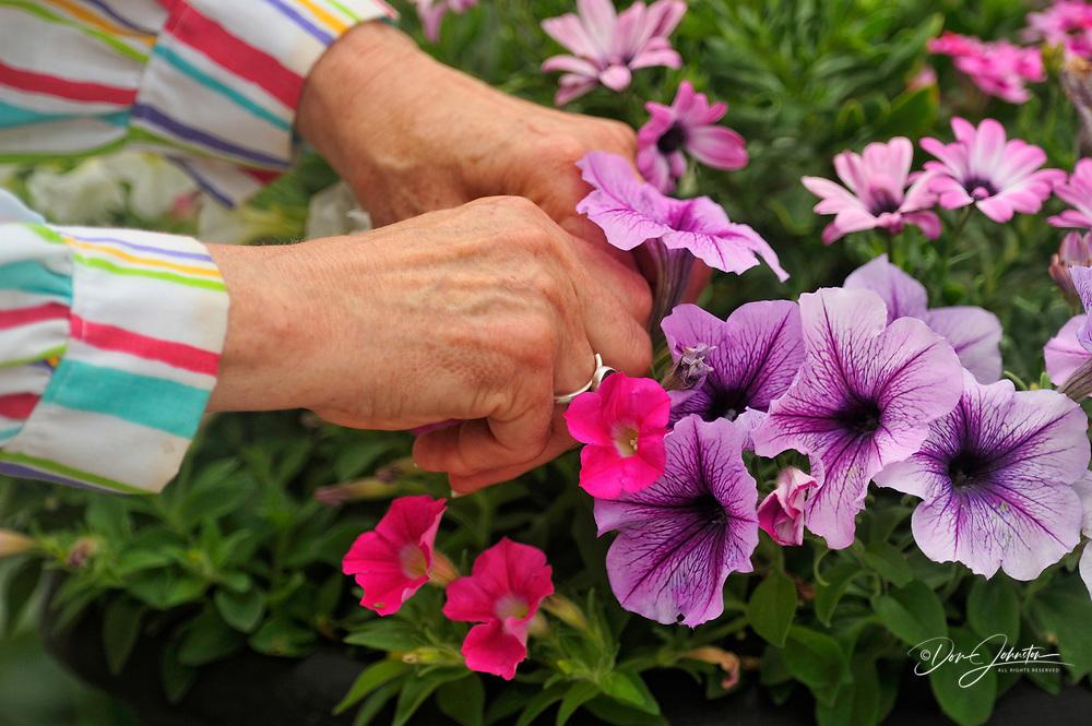 Gardener using clippers to 'deadhead' garden flowers, Greater Sudbury (Lively), Ontario, Canada