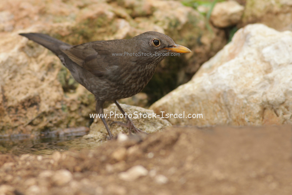 Blackbird, Common Blackbird or Eurasian Blackbird (Turdus merula) Israel March