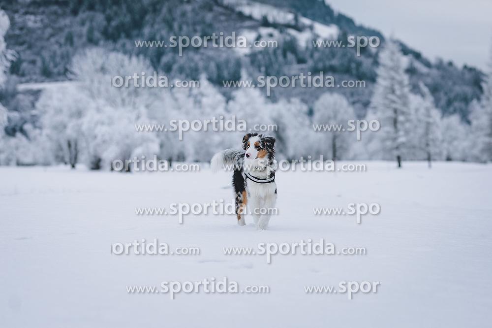 THEMENBILD - ein junger Hund (Australian Shepherd) steht auf einer verschneiten Wiese, aufgenommen am 30. Dezember 2020 in Zell am See, Oesterreich // a young dog (Australian Shepherd) on a snowy meadow, in Zell am See, Austria on 2020/12/30. EXPA Pictures © 2020, PhotoCredit: EXPA/Stefanie Oberhause