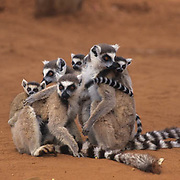 Ring-tailed lemur (Lemur catta) group grooming in Madagascar.  Ring-tailed lemurs are an endangered species.