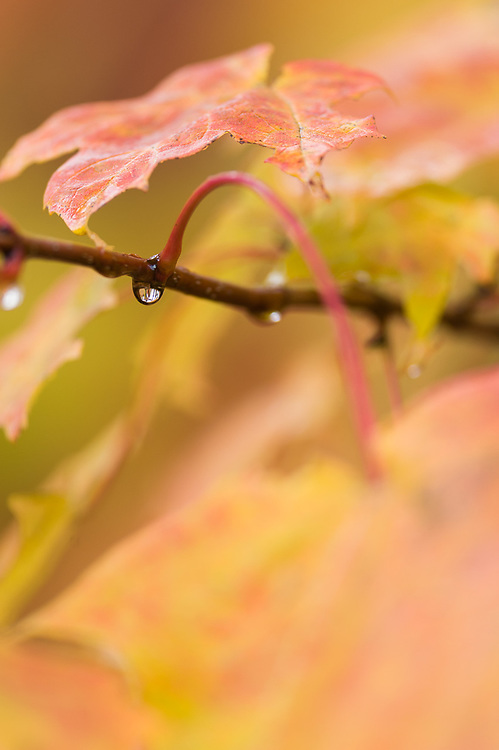 Autumn maple leaves (Acer species) with dew droplets, morning overcast, October, Sleeping Bear Dunes National Lakeshore, Michigan, USA