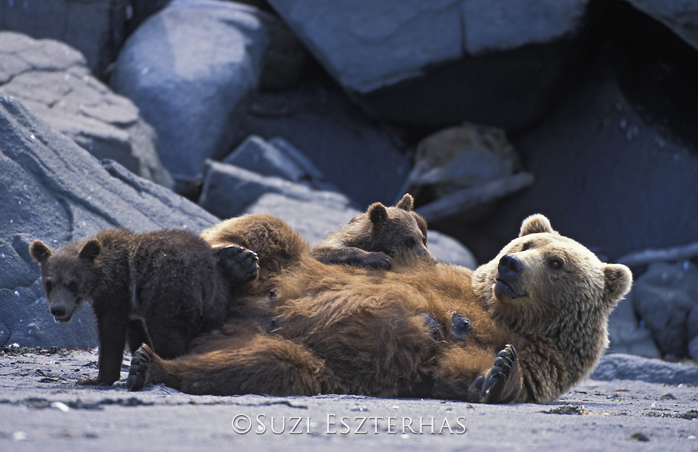 Alaskan Brown Bear<br /> Ursus arctos middendorffi<br /> Sow nursing 4-6 month old cub(s)<br /> Katmai National Park, AK