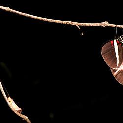 """Borboleta-sara (Heliconius sara apseudes) fotografado em Guarapari, Espírito Santo -  Sudeste do Brasil. Bioma Mata Atlântica. Registro feito em 2007.<br /> <br /> ENGLISH: Butterfly-sara photographed in Guarapari, Espírito Santo - Southeast of Brazil. Atlantic Forest Biome. Picture made in 2007."""