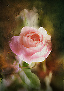Computer generated old painting of a pink rose