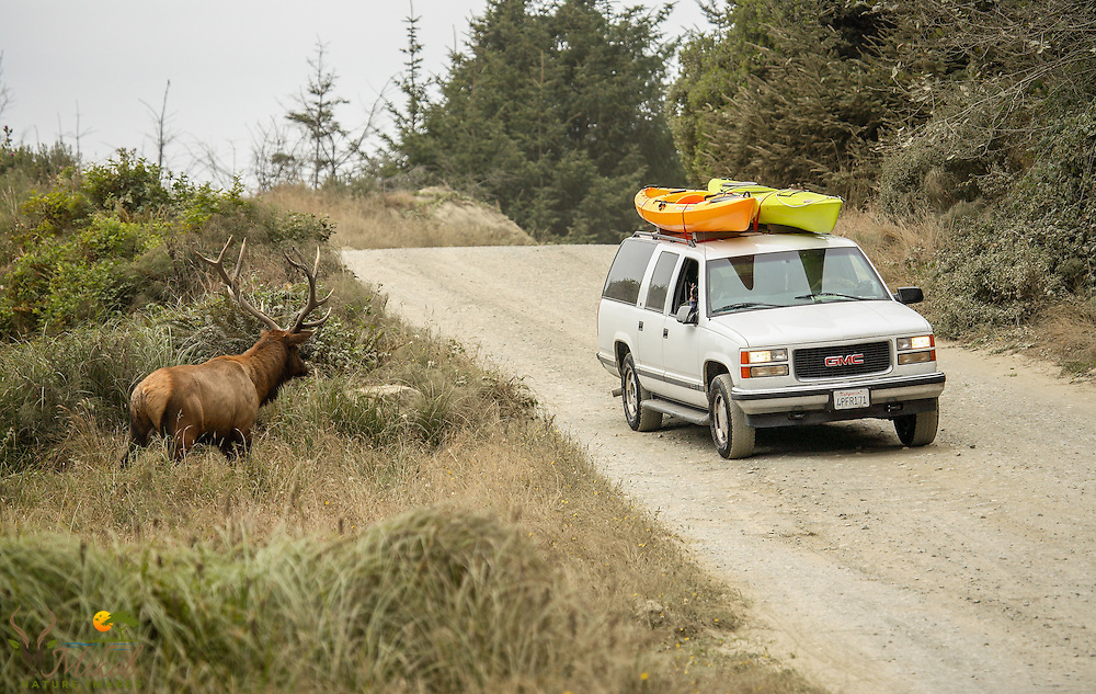 Bull Elk in rut staring down vehicle