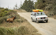 Bull Elk in rut staring down vehicle