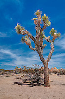 Considered to be one of the desert's oldest living plants, a mature Joshua tree is believed to be between 150-300 years old, and one specimen that reached a height of a whopping 60 feet was believed to have been about 1000 years old! This much younger one was photographed in Southern California's Mojave Desert.