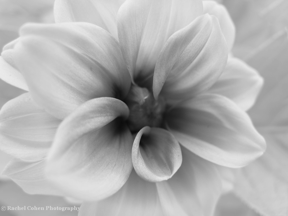 """""""Through Time""""<br /> <br /> Pure delicate Dahlia beauty in shades of gray!<br /> <br /> Flowers by Rachel Cohen"""
