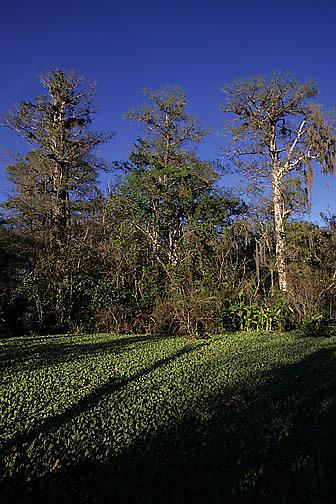 Florida, Corkscrew Swamp Sanctuary. Lettuce Lake.