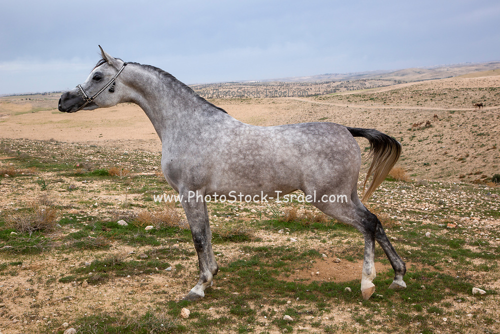 The Arabian or Arab horse is a breed of horse that originated on the Arabian Peninsula. With a distinctive head shape and high tail carriage, The Arabian developed in a desert climate and was prized by the nomadic Bedouin people, The Arabian also developed the high spirit and alertness needed in a horse used for raiding and war.