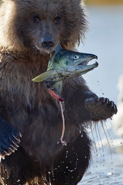 USA, Alaska, Katmai National Park, Grizzly Bear Cub (Ursus arctos) stands upright while holding onto salmon head in spawning stream by Kinak Bay