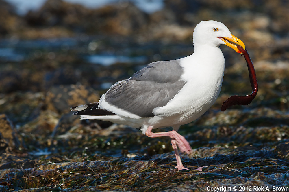 USA, Oregon, Newport, Yaquina Head, Western Gull (Larus occidentalis) with eel