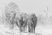 A thirsty herd of elephants (Loxodonta africana) kicking up dust as they run to a water hole to drink, black and white,Savuti, Botswana