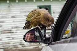 Kea, Alpine Parrot