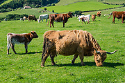 First mentioned in the 500s AD, Highland cattle (Scots: Heilan coo, slang: curly coo) have long horns and long wavy coats and are primarily for meat. They originated in the Highlands and Western Isles of Scotland. Today we toured North York Moors National Park from Grosmont to Robin Hood's Bay on foot and via van, plus Whitby on the Esk River, in North Yorkshire county, England, United Kingdom, Europe. England Coast to Coast hike with Wilderness Travel, day 13 of 14. We walked a rural path through bracken, purple blooming heather moors, and farmland before descending cliffs to the beach and village of Robin Hood's Bay. [This image, commissioned by Wilderness Travel, is not available to any other agency providing group travel in the UK, but may otherwise be licensable from Tom Dempsey – please inquire at PhotoSeek.com.]