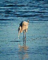 Great Blue Heron at Fort De Soto park. Image taken with a Nikon One V3 camera and 70-300 mm VR lens (ISO 400, 300 mm, f/5.6, 1/800 sec).