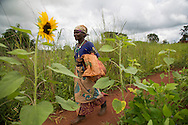 Farmer Gertruda Domayo walks past sunflower fields in Nakahegwa, Tanzania. Gertruda is a soy bean farmer participating in CRS' Soya ni Pesa project (funded by USAID) that links smallholder soy bean farmers with markets. The project helps farmers gain bargaining power by supporting the formation of marketing groups that pools their harvest to offer buyers large quantities. As a result of the project Gertruda was able to grow four times more soybeans from the same plot of land and earn three times more per kilo for her harvest. Sara A. Fajardo/Catholic Relief Services