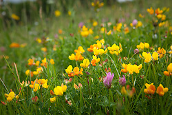 Bird's-foot Trefoil and Red Clover in a field. Lotus corniculatus, Trifolium pratense