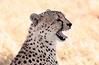 Cheetah n the Masai Mara reserve in Kenya Africa