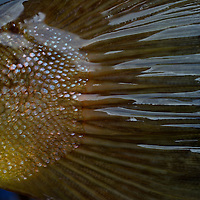 A detail of  brown trout tail.