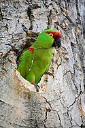 An endangered Thick-billed Parrot, Rhynchopsitta pachyrhyncha, nesting in Quaking Aspen; Chihuahua, Mexico