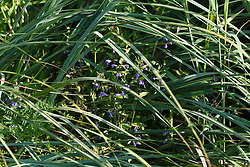 Blauw glidkruid, Scutellaria galericulata