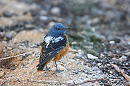 Common Rock Thrush - Monticola saxatilis