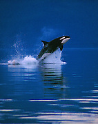 Alaska, Inside Passage. Young orca leaping into the air along the narrows of the Inside Passage, bordering the Tongass National Forest.